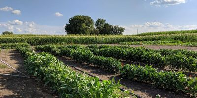 Scientists Further Cowpea Research, Boost Crop Productivity