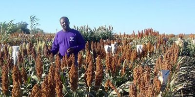 Improving Protein Digestibility in Sorghum