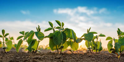 Using Wild Genes to Improve Biological Nitrogen Fixation in Soybeans