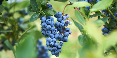 New Method to Combat Damage, Help Revive NY Berry Industry