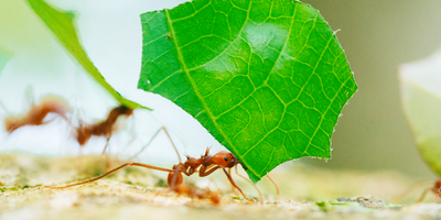 Ant Pheromones Could Reduce Pesticide Use, Better Manage Pests