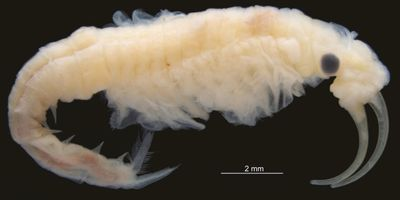 New Species of Freshwater Crustacea Found in the Hottest Place on Earth