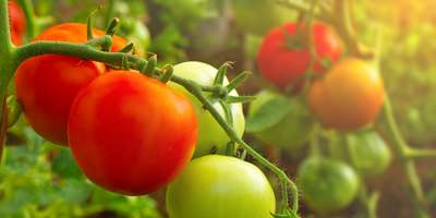 Mutant Tomato Helps to Crack the Secrets of Fruiting