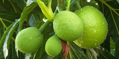 Could Breadfruit Be the Next Superfood? Researchers Say Yes