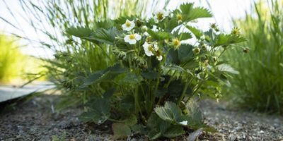 Residue in Fertilizer Decreases Strawberry and Meadow Fescue Growth