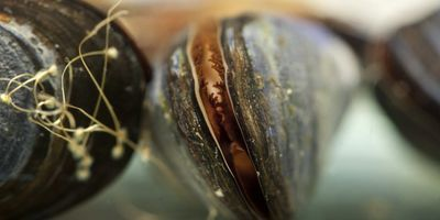 Laundry Lint Can Cause Significant Tissue Damage within Mussels