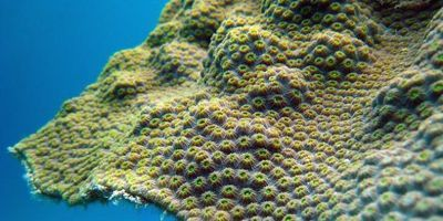 Coral's Resilience to Warming May Depend on Iron