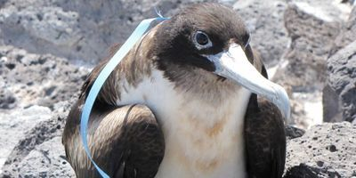 Study Confirms Plastics Threat to South Pacific Seabirds
