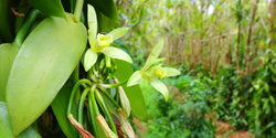 Vanilla Cultivation under Trees Promotes Pest Regulation