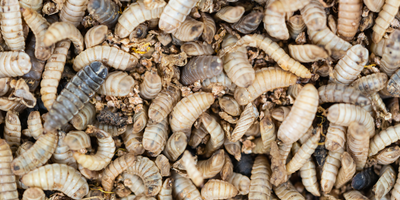 Larvae Could Become New Alternative Protein Source for Humans