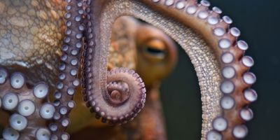 Do Octopuses' Arms Have a Mind of Their Own?