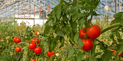 Recycled Water Proves Fruitful for Greenhouse Tomatoes