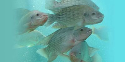 Fish-Free Aquaculture Feed Raises Key Standards