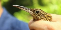 In a Warming Climate, Can Birds Take the Heat?