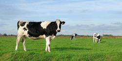 Cows Exposed to Heavy Metals Worsen Antibiotic Resistance Crisis