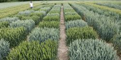 Novel Approach to Increase the Precision of Wheat Breeding