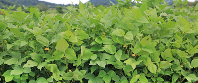 Researchers Discover How Bean Plants Fight Off Pests