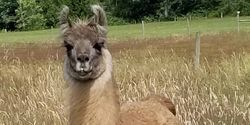 Promising Mini Antibodies Against COVID-19 Isolated from a Llama
