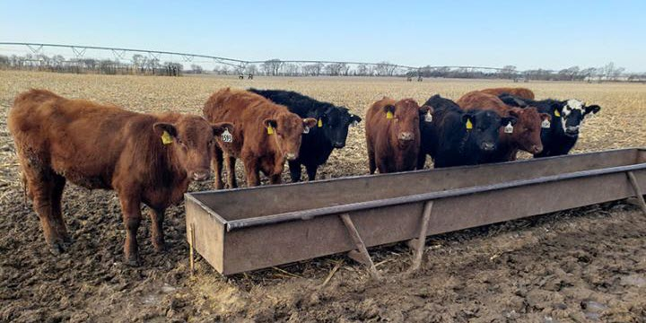 How Cattle Grazing Impacts Soybean Yields