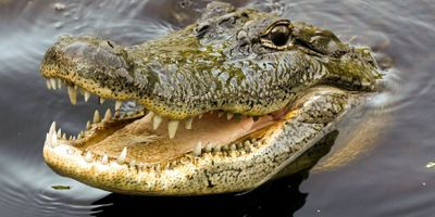 Why Crocodiles Have Changed So Little since Jurassic Period