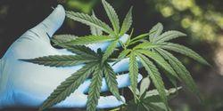 New Evidence of Health Threat from Marijuana and Tobacco Smoke