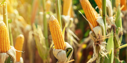 Soil Degradation Costs US Corn Farmers $500M Every Year