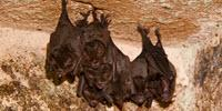 Bat Influenza Viruses Could Infect Humans