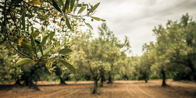 How to Save Olive Trees from Verticillium Wilt