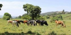 Ancient Proteins Help Track Early Milk Drinking in Africa
