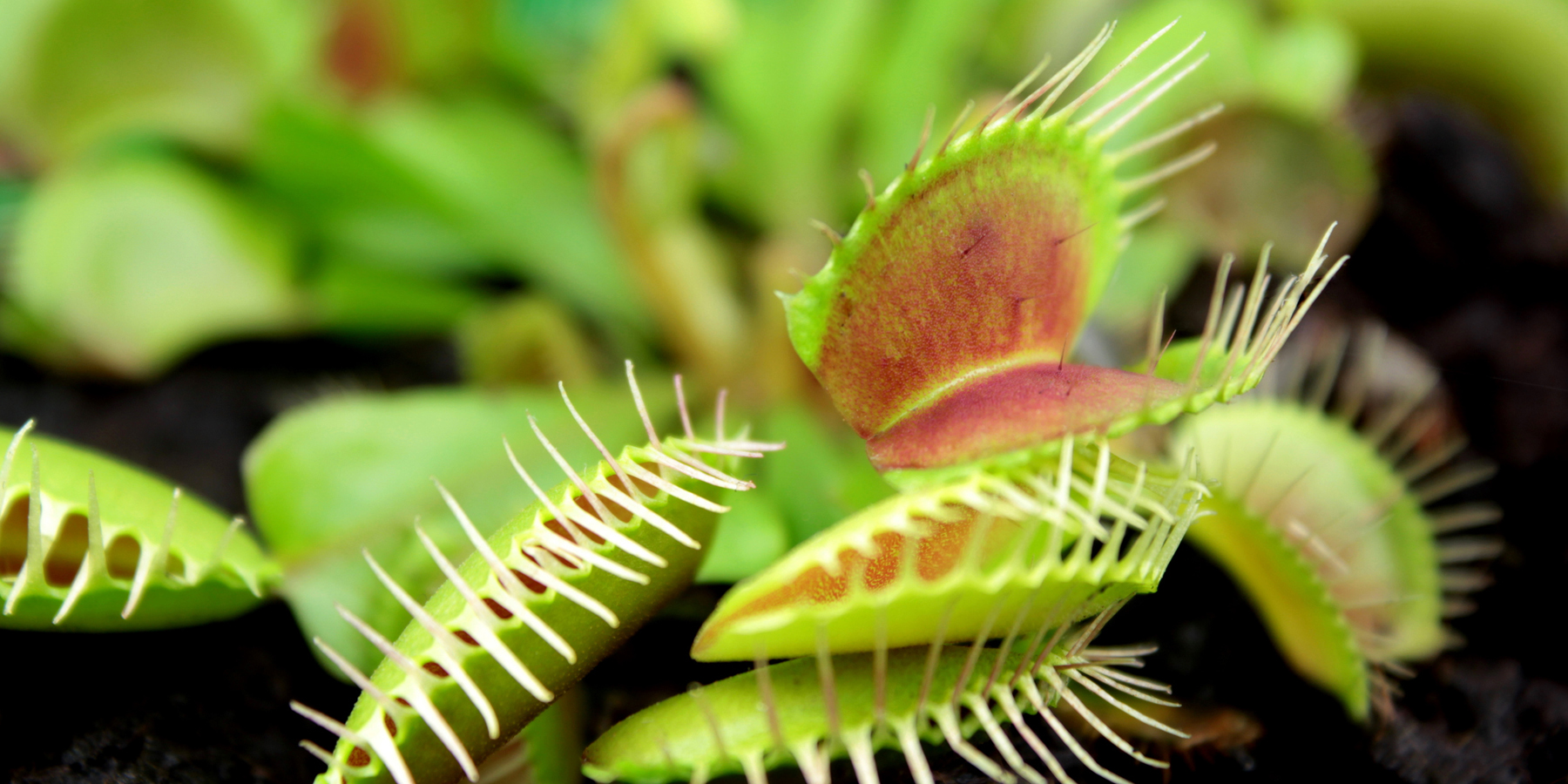 Scientists Find That Venus Flytraps Produce Magnetic Fields