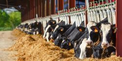 New Research Could Help Dairy Cow Nutrition during Dry Period