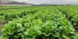 Improving Food Safety Testing for Leafy Greens