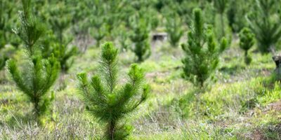 Reversing a Significant Reforestation Side Effect