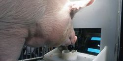 Scientists Teach Pigs to Play Simple Video Game