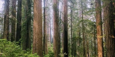 Restoring Redwood Forests without Affecting Stream Temperatures