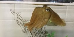 Quick-Learning Cuttlefish Pass 'the Marshmallow Test'