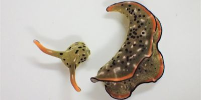 These Sea Slugs Sever Their Own Heads and Regenerate Brand-New Bodies