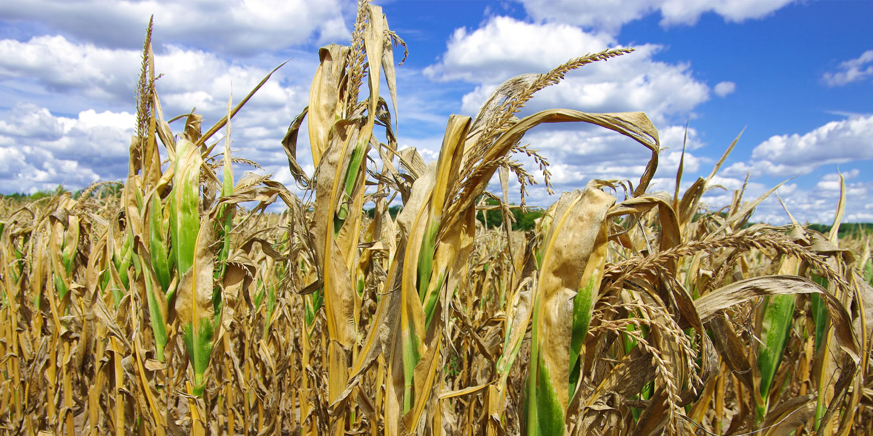 Atmospheric Drying Will Lead to Lower Crop Yields Worldwide