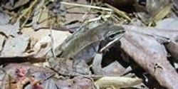 Study Shows Hope for Fighting Disease Known as Ebola of Frogs