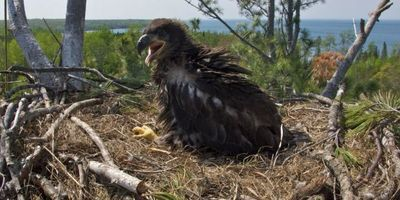 Bioaccumulation of Fire Retardants Is Declining in Bald Eagles