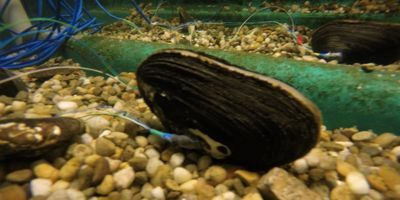 Mussel Sensors May Lead to New Environmental Monitoring Tools