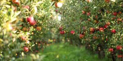 Neural Network Uses Orchard Data to Predict Fruit Quality