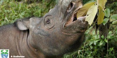 How Genome Sequencing Could Help the Sumatran Rhinoceros