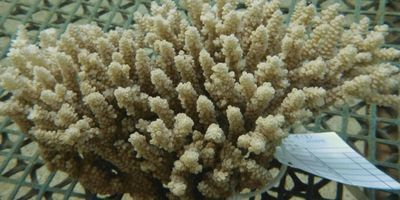 Scientists Culture the First Stable Coral Cell Lines