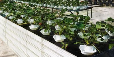 Salmonella Contamination via Strawberry Roots Not a Dietary Risk Factor