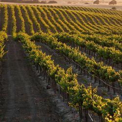Smartphone App Predicts Vineyard Yields