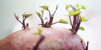 Lab Provides Potato Education, Produces Healthier Tubers