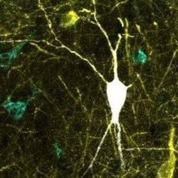 Study Upgrades One of the Largest Databases of Neuronal Types