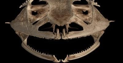 Taking a Bite Out of Tooth Evolution: Frogs Have Lost Teeth More Than 20 Times