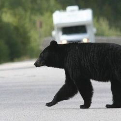 Researchers Identify Best Strategy to Reduce Human-Bear Conflict